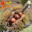 New crop fresh chestnuts from Hebei