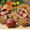 Organic Fresh Chestnuts Castanea Sativa Whole Ches