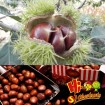 Wholesale Chestnut Fresh Chinese chestnut
